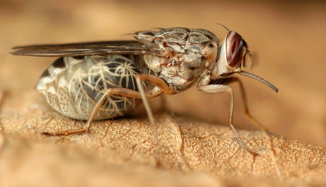 Image result for tsetse flies