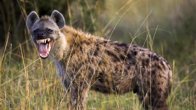 Hyena-Main